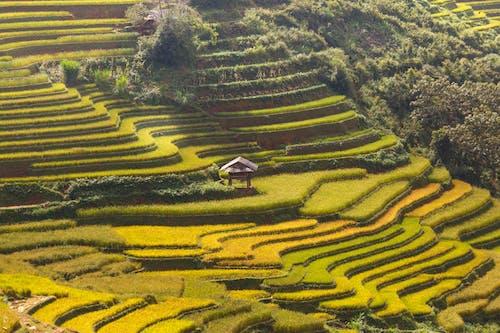 Foto profissional grátis de agricultura, ao ar livre, arroz, arrozais