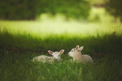 Photo Of Lambs Sitting On The Grass