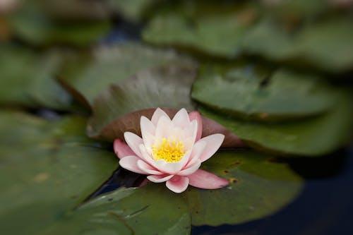꽃, 물, 분홍색, 수련의 무료 스톡 사진