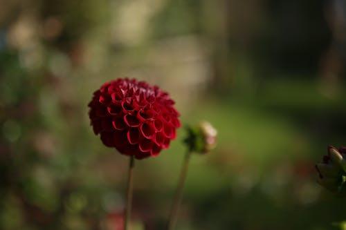 꽃, 빨간, 식물, 여름의 무료 스톡 사진