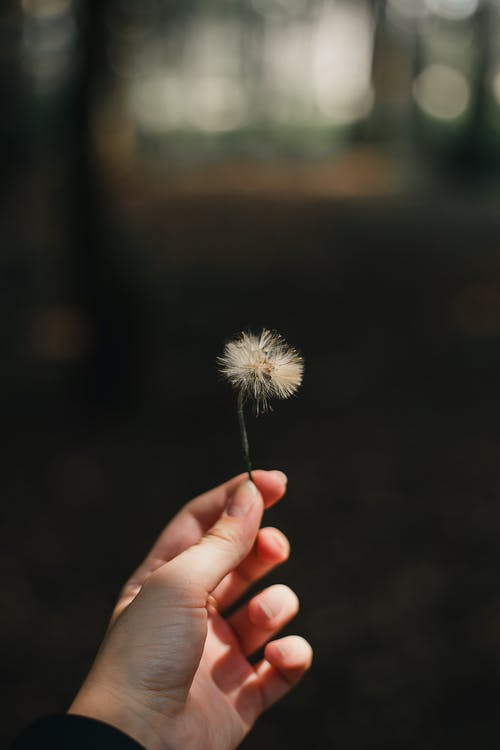 Person Holding Dandelion