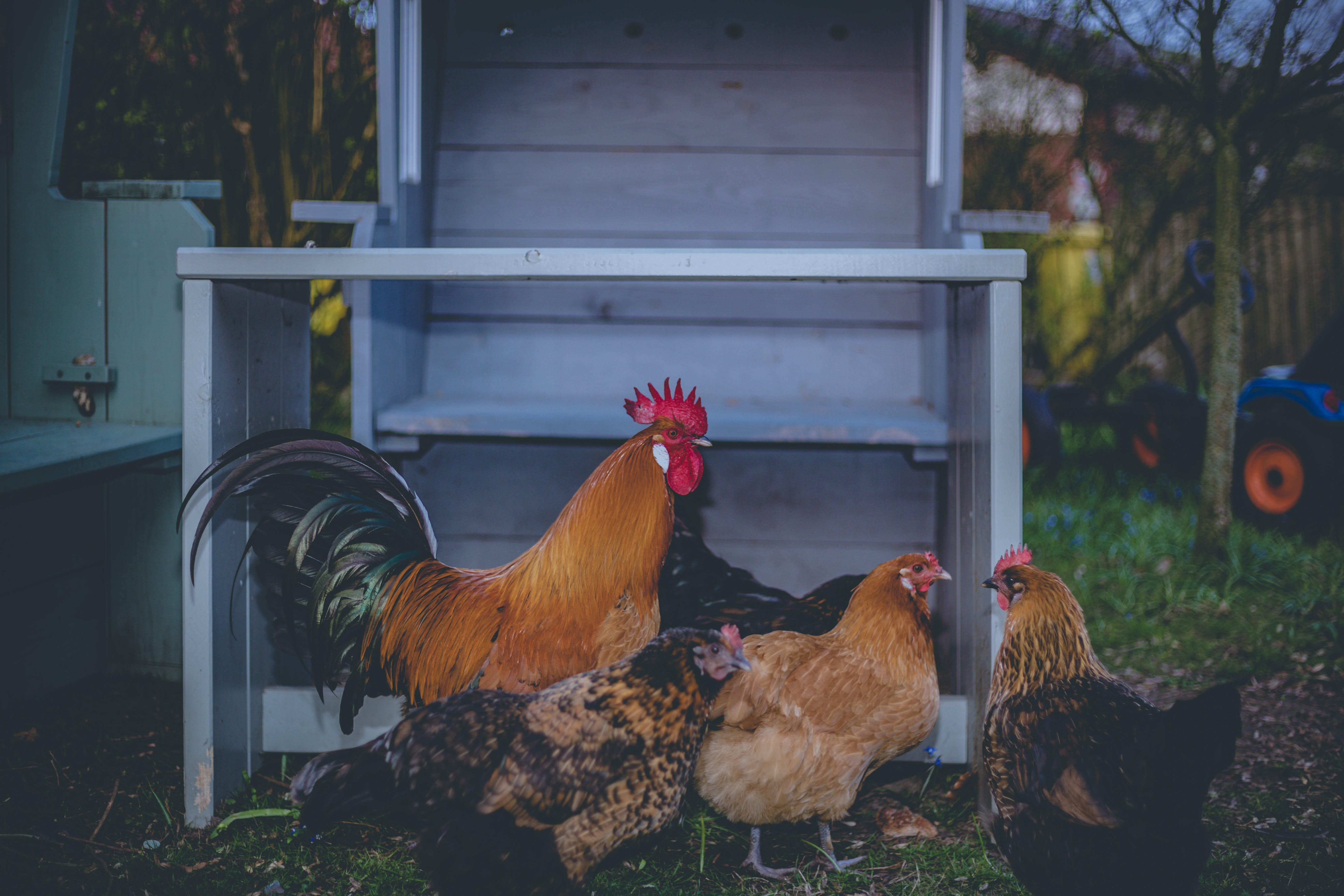 Four Brown Chickens