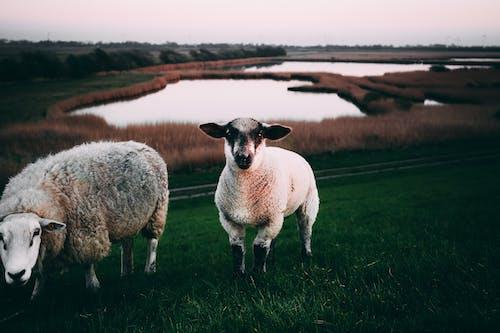 下田, 乾草地, 動物, 動物養殖 的 免费素材照片