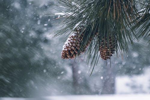 Ingyenes stockfotó fenyőtobozok, hideg, hó, tél témában