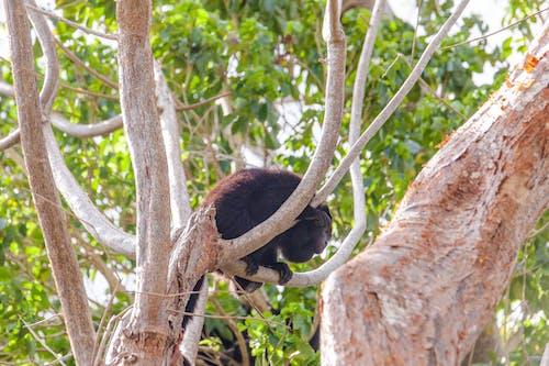 Free stock photo of forest, howler monkey, monkey