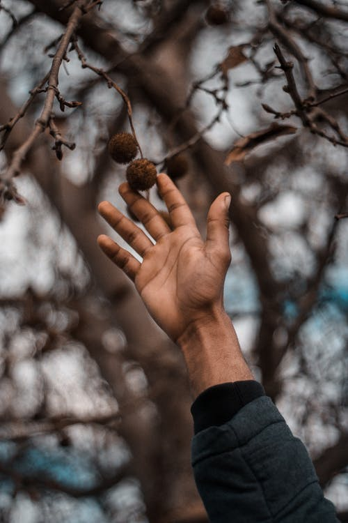 Person in Gray Jacket Picking Brown Fruit