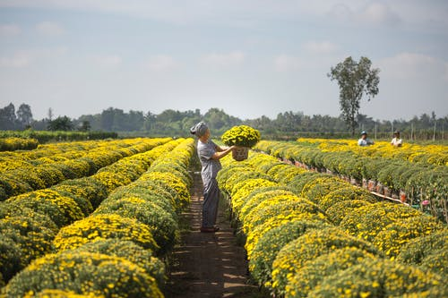 Person Carrying Basket of Yellow Flower