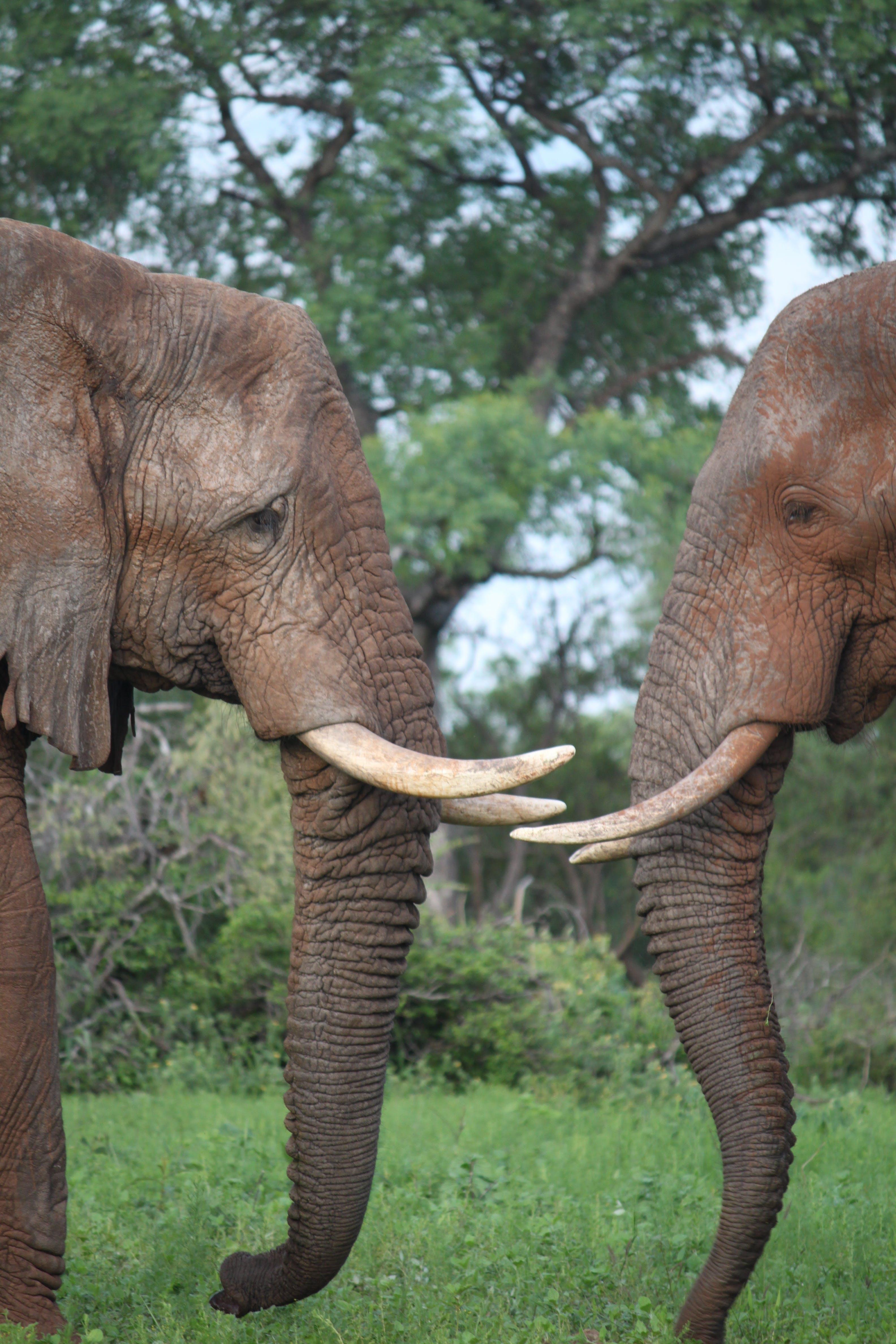 Free stock photo of africa, big, elephant, grass