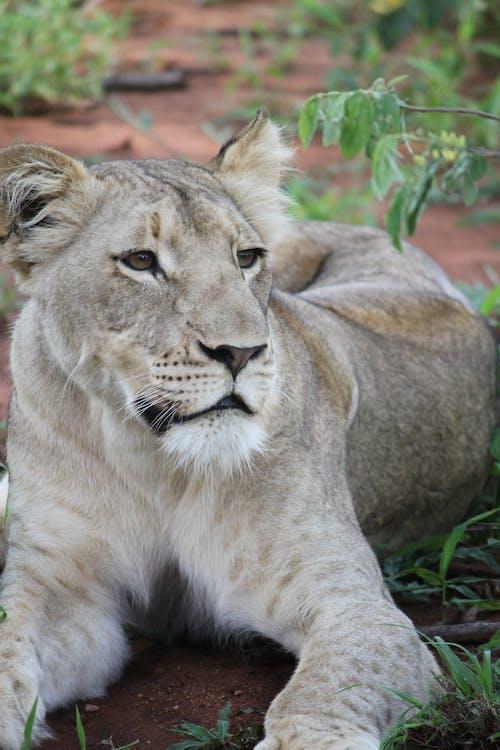 Foto stok gratis binatang, kehidupan liar, kucing besar, putih