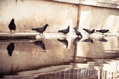Free stock photo of birds, pigeons, water