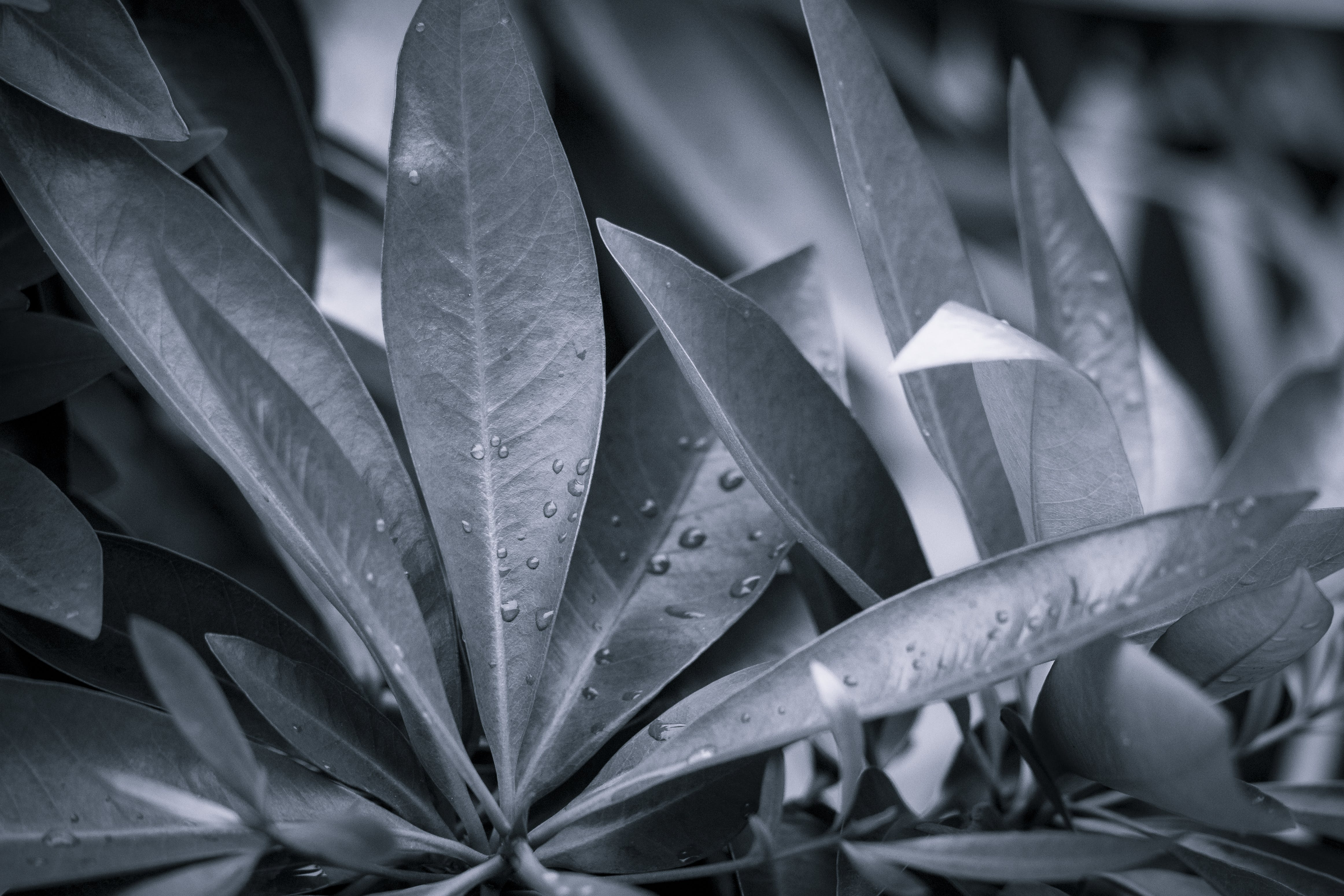 Kostenloses Stock Foto zu blätter, nach dem regen, regen, schwarz und weiß
