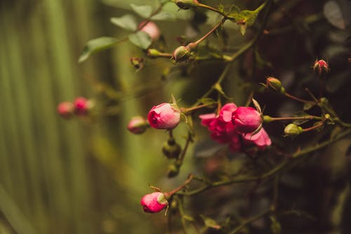 Free stock photo of love, Red Rose, roses, wild rose