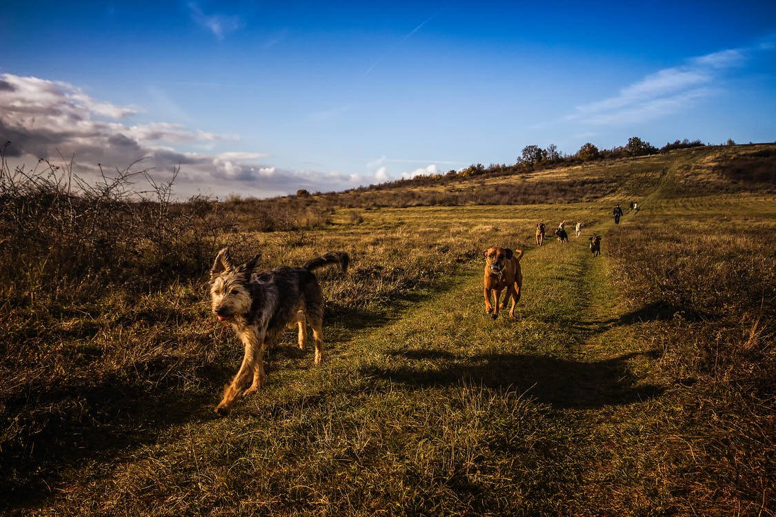 Dogs Running on the Field Under Blue Sky