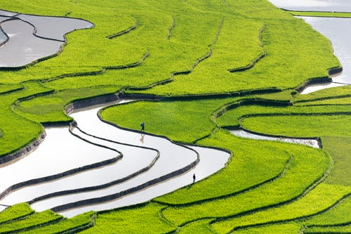 People On Rice Field