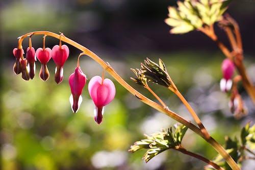 Free stock photo of bleeding heart, flower, heart, love