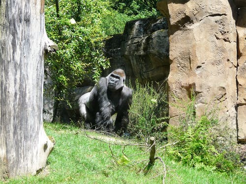 Δωρεάν στοκ φωτογραφιών με γορίλλας, ζώα, μαϊμούδες