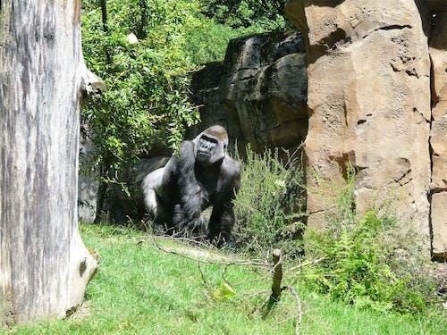 Fotobanka sbezplatnými fotkami na tému gorila, opice, zvieratá