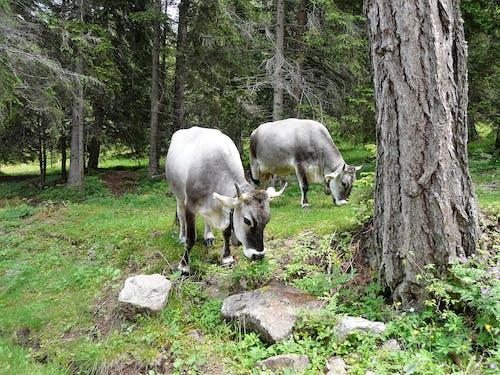 Fotobanka sbezplatnými fotkami na tému kravy, pásť sa, príroda, zvieratá