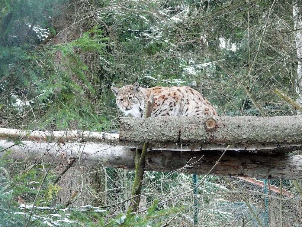 divá mačka, príroda, rys