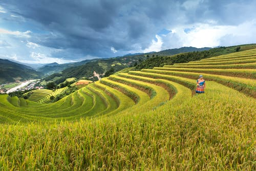Person On Rice Field