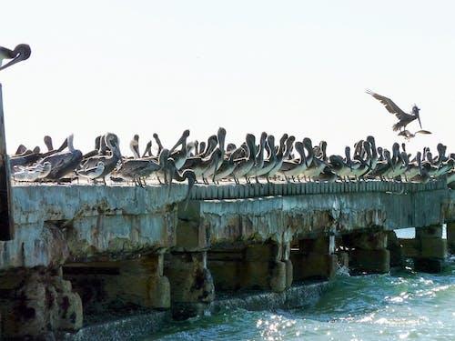 Fotobanka sbezplatnými fotkami na tému pelikány, zvieratá
