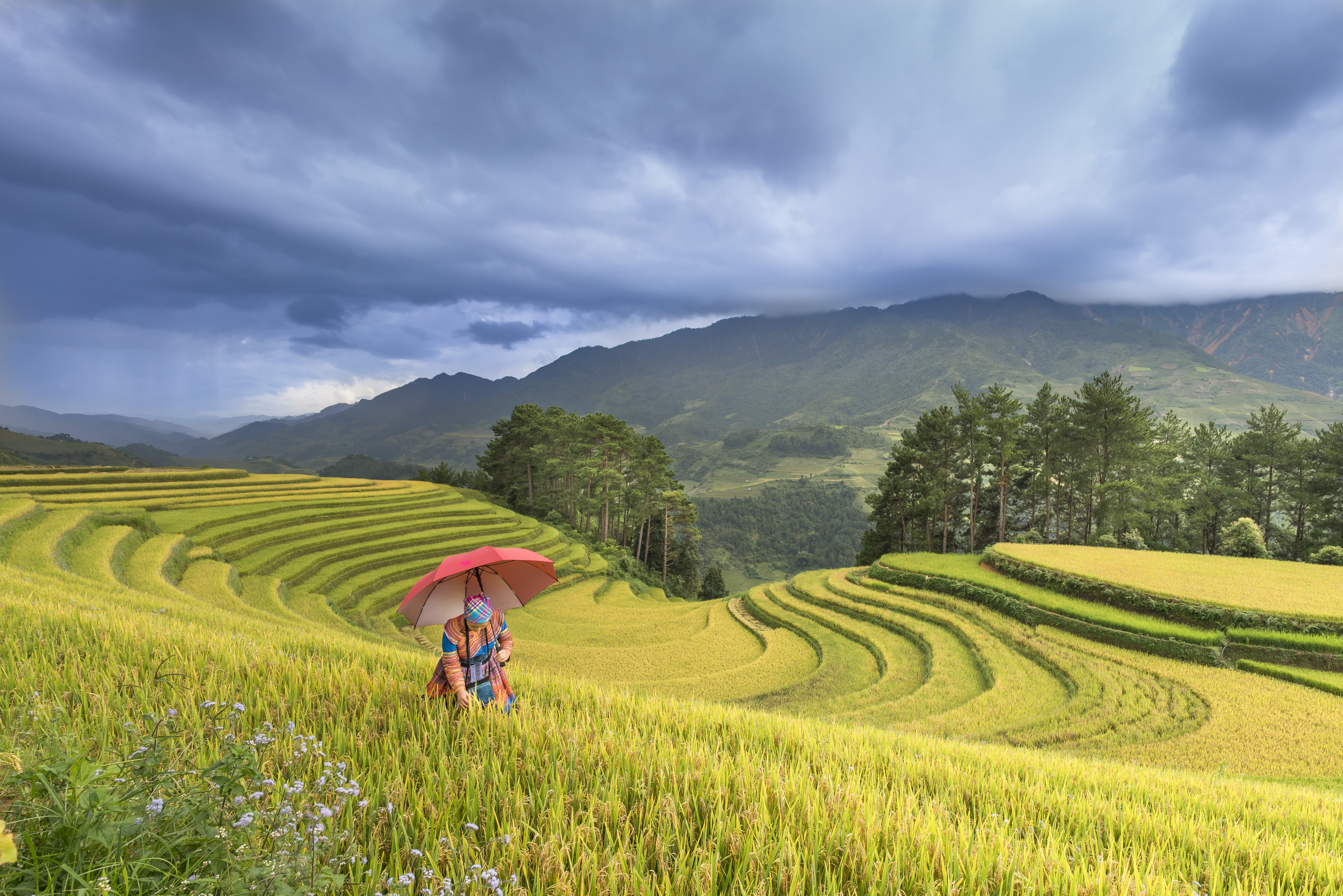 Person Using Red Umbrella Standing On Rice Terraces