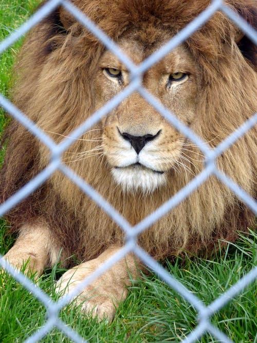 Ingyenes stockfotó állatkert, éhes, ketrecbe zárt, mérges témában