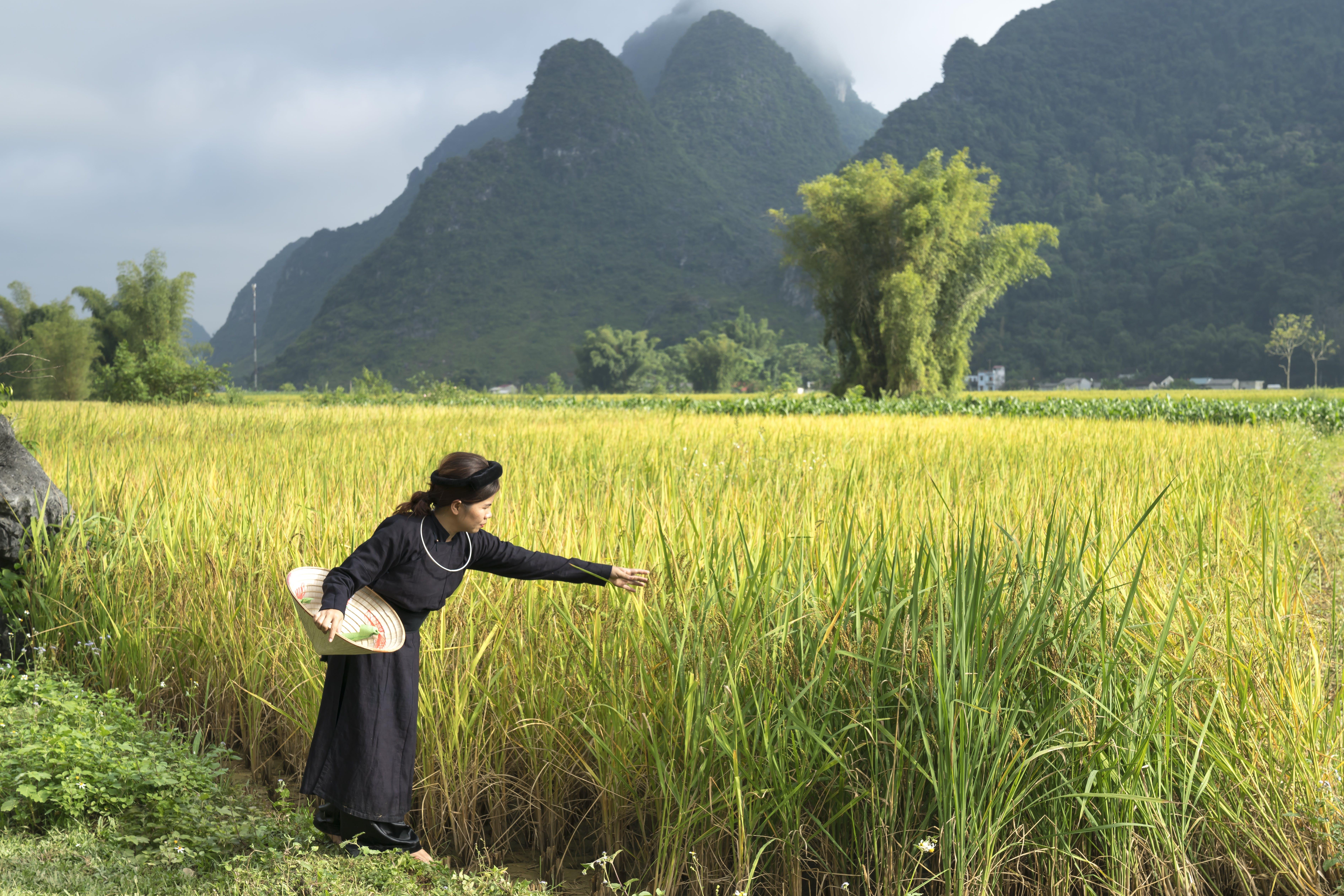 คลังภาพถ่ายฟรี ของ การเกษตร, ข้าวเปลือก, ชนบท, ทุ่งเลี้ยงสัตว์