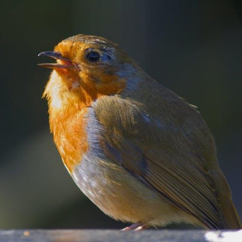 Foto d'estoc gratuïta de #robin #spring #birdwatching