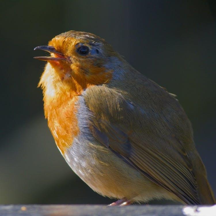 #robin #spring #birdwatching
