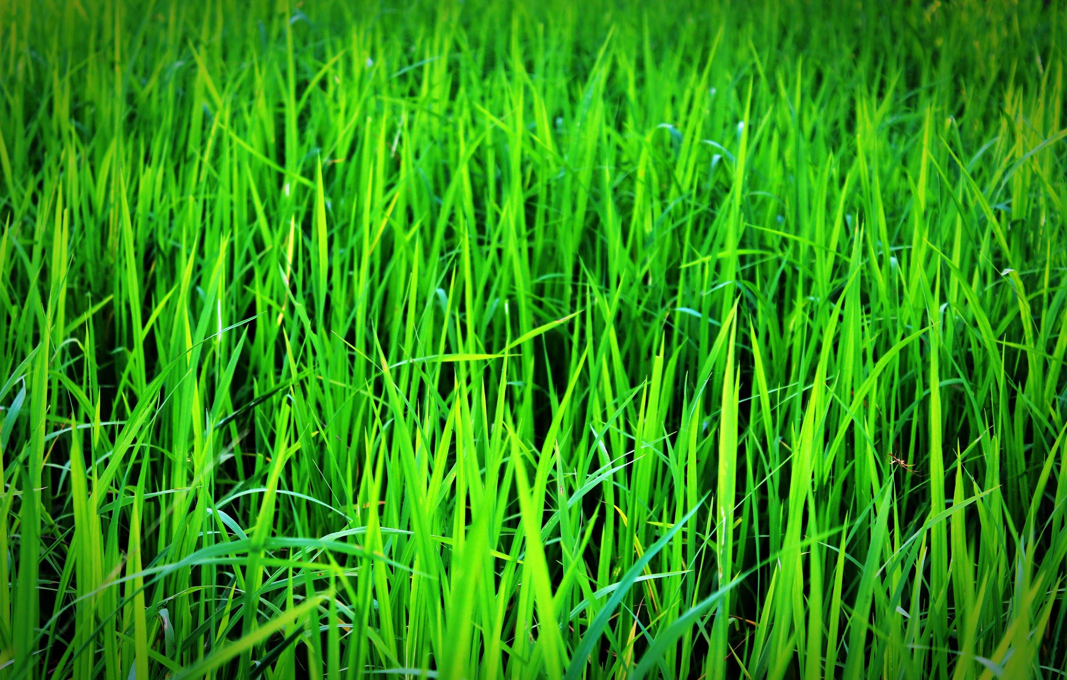 Immagine gratuita di azienda agricola, campo, campo di fieno, coltivazione