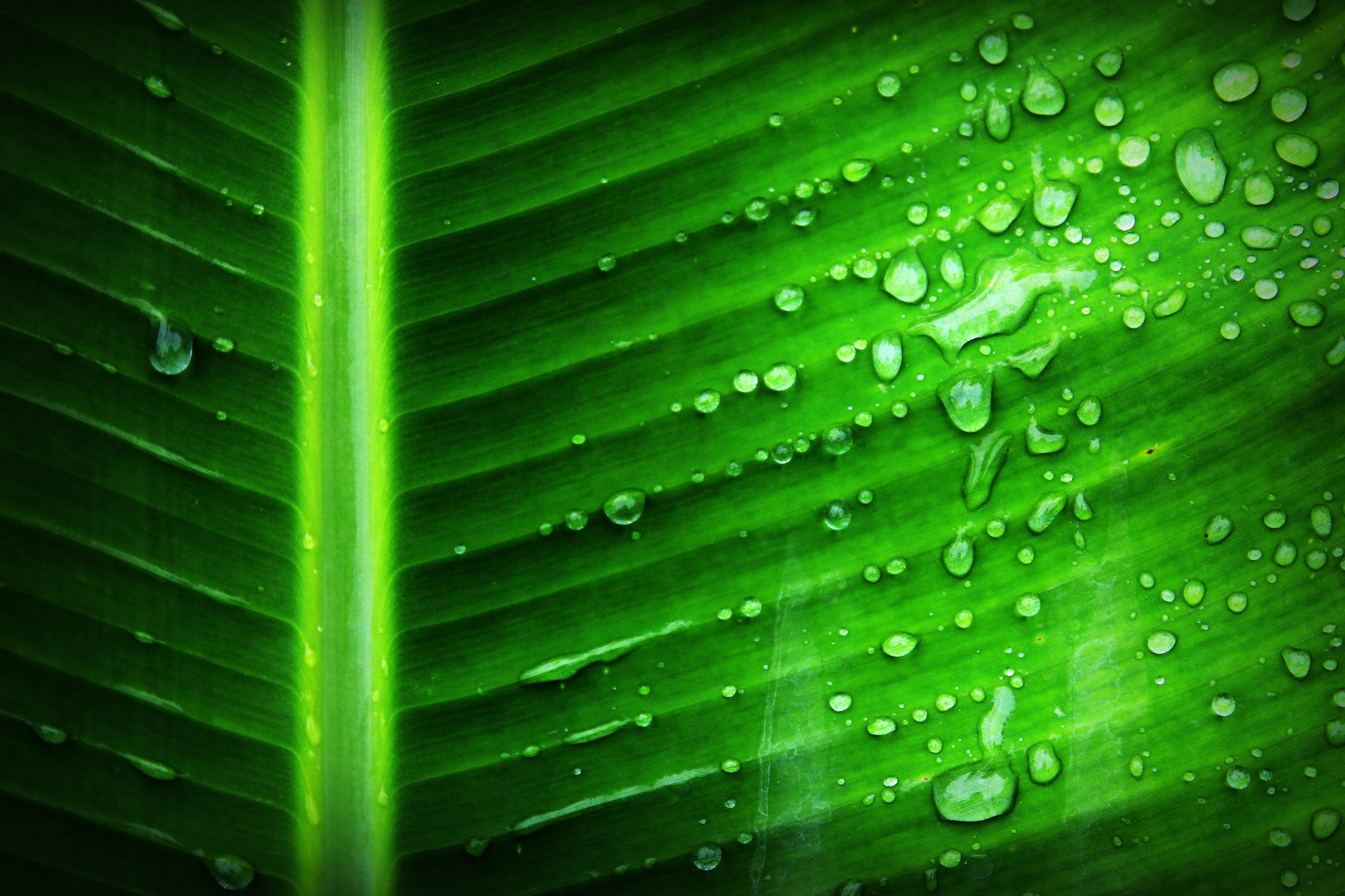 Green Banana Leaf With Substance of Clear Liquid