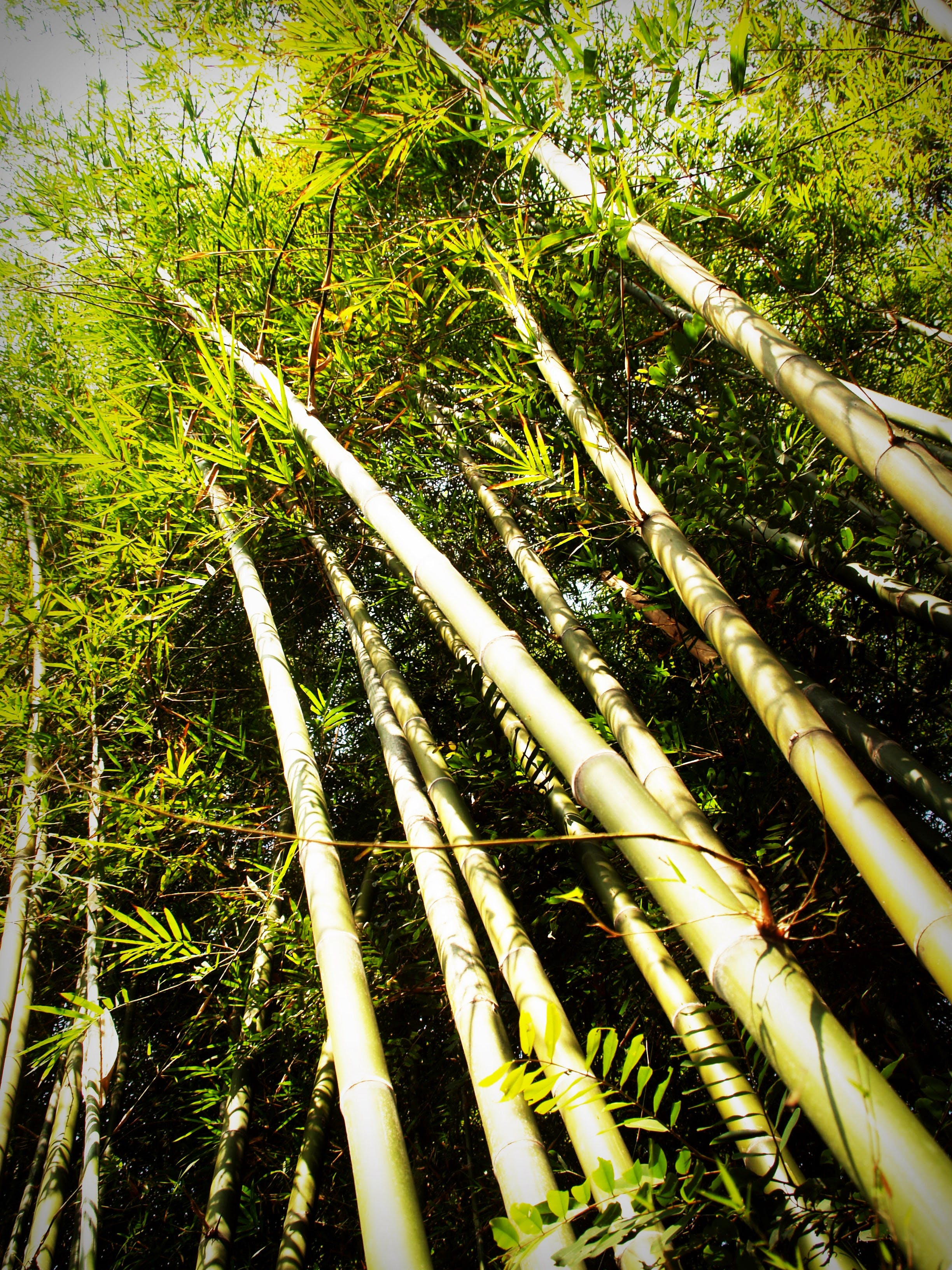 Person Showing Bamboo Trees
