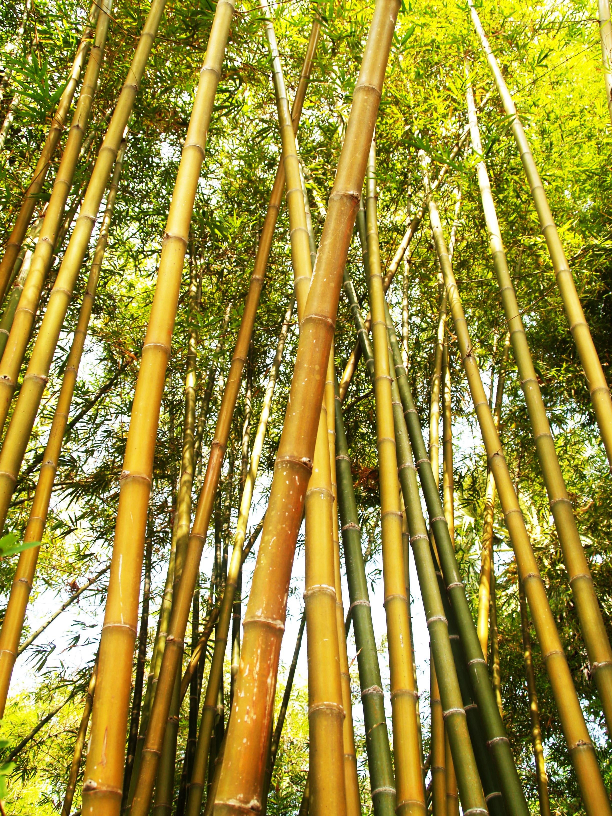 Bamboo Tree During Daytime Free Stock Photo