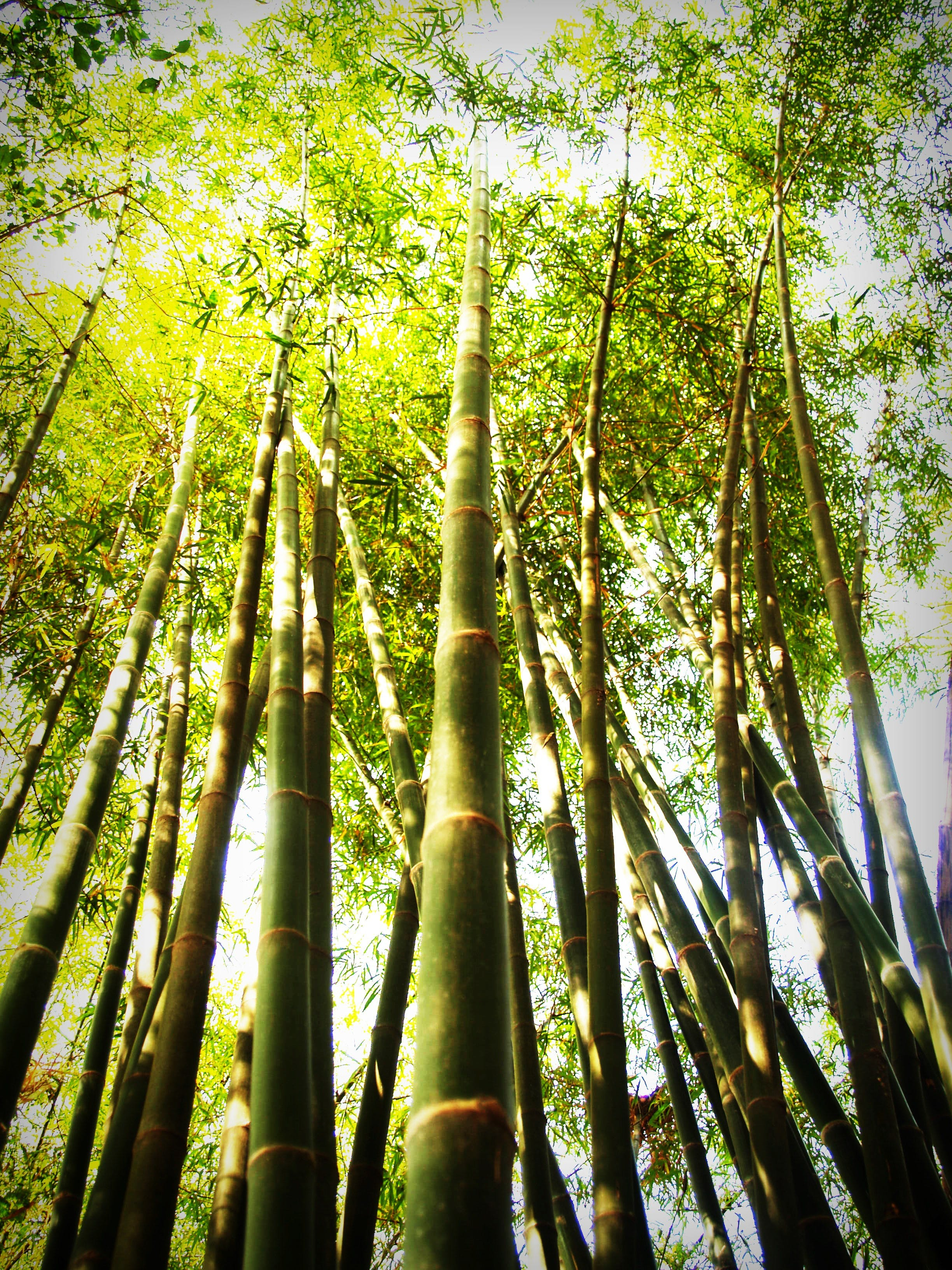 Worm-view of Bamboo Trees