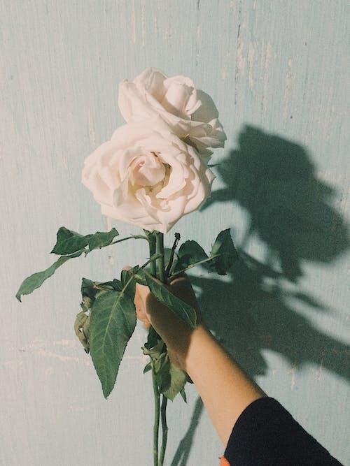 Ingyenes stockfotó árnyék, fehér rózsák, finom, gyönyörű virágok témában