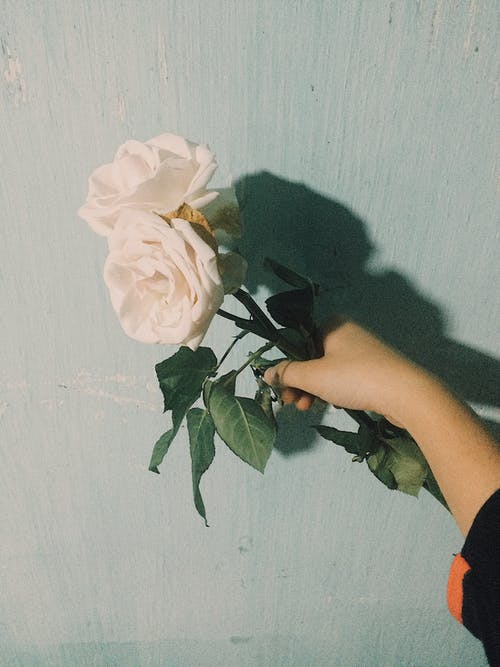 Photo of Person Holding Two White Roses