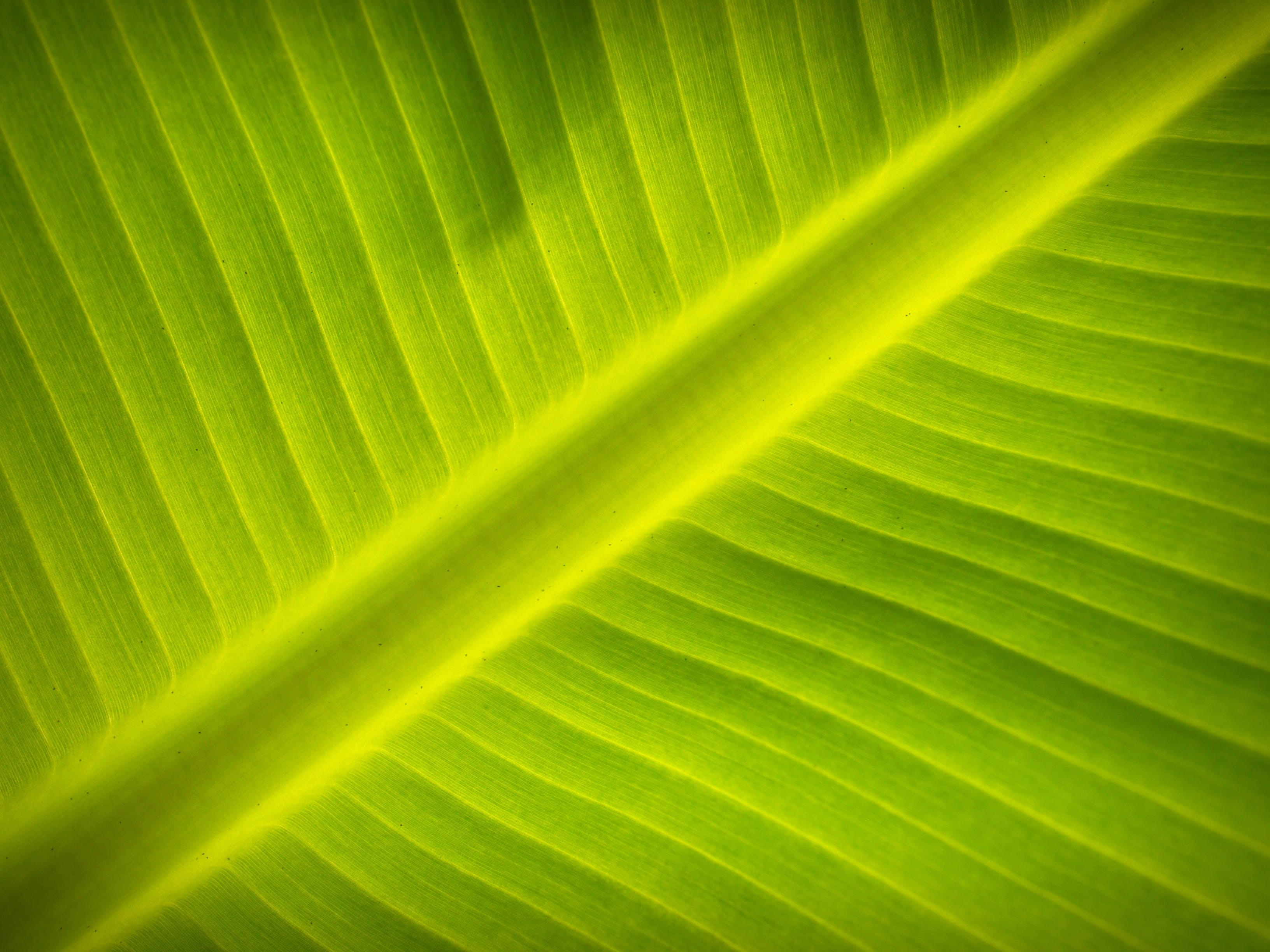 banana leaf, close-up, green