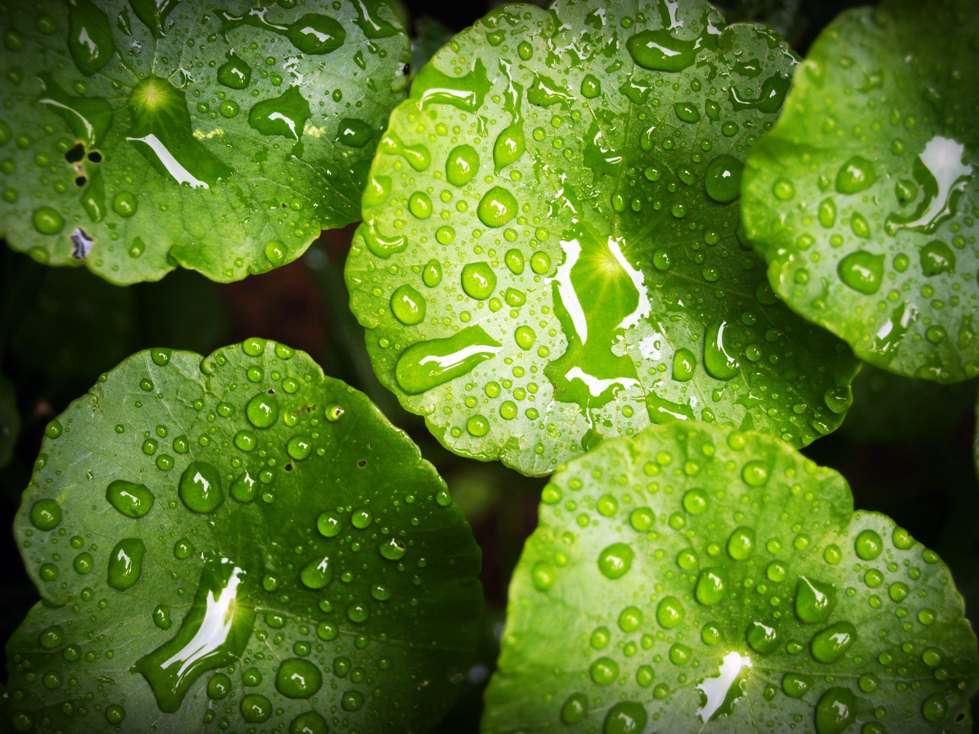 Green Waterlily