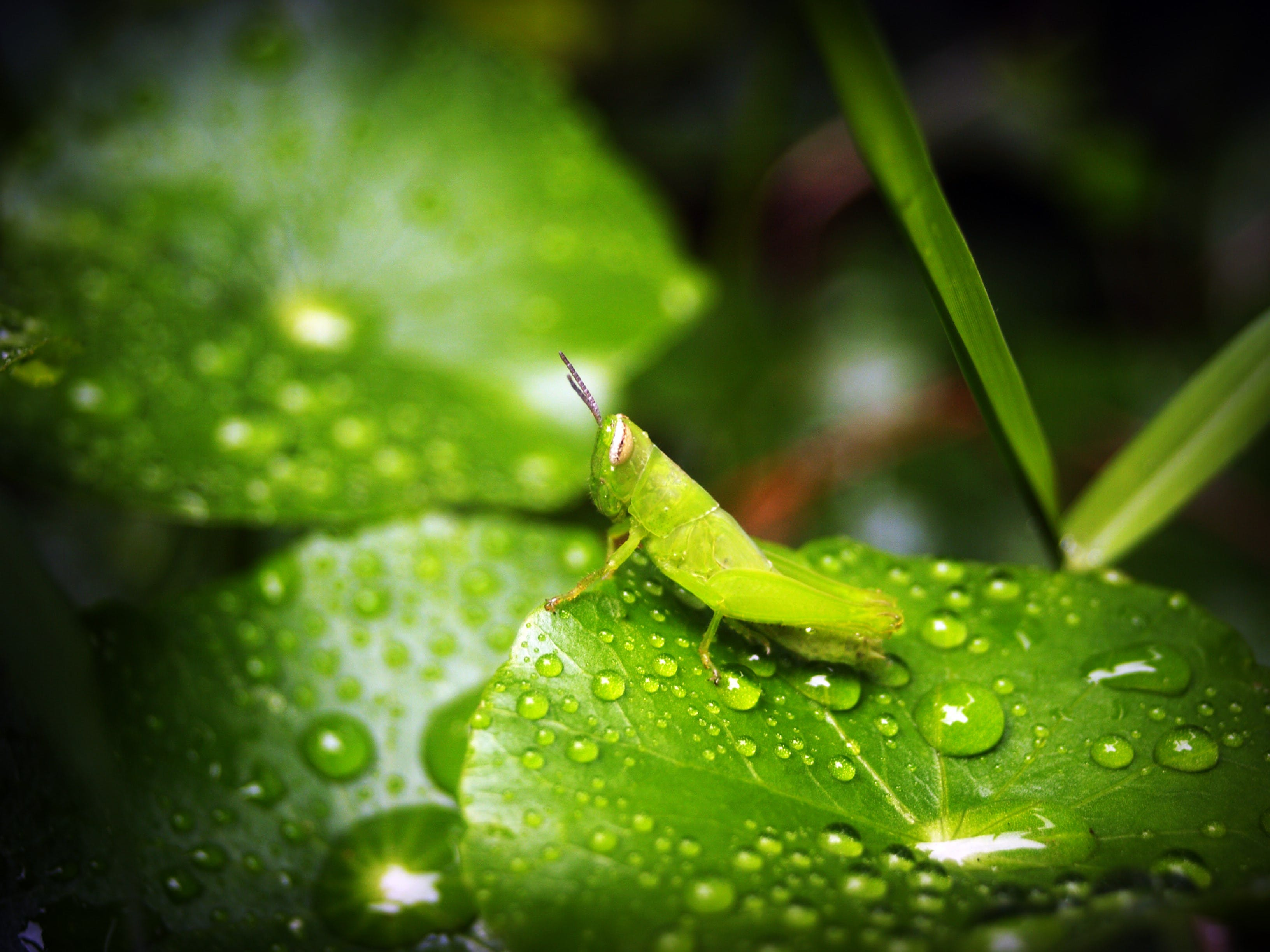 Green Grasshopper on Green Wet Leaf
