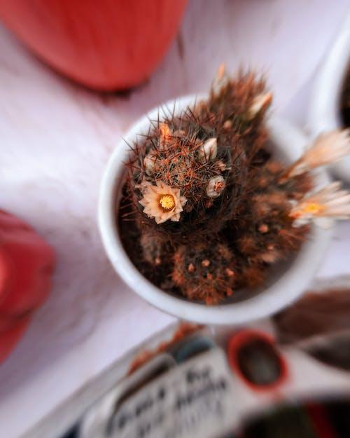仙人掌, 仙人掌花, 專注, 模糊的背景 的 免费素材照片