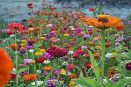 Free stock photo of flowers, garden flowers