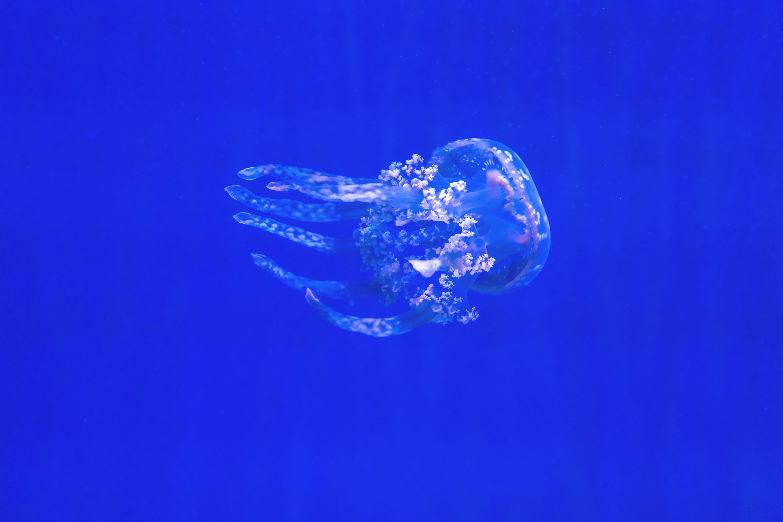 de água, água-viva, animal, animal aquático