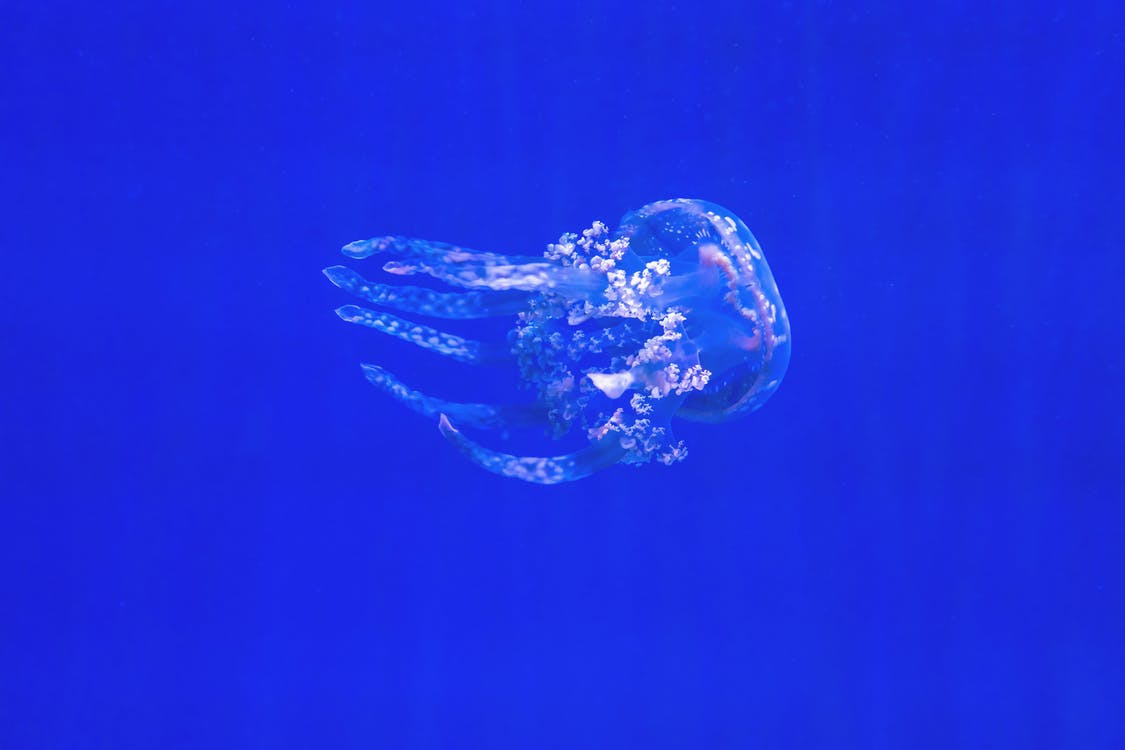 medúza, plávanie, pod vodou