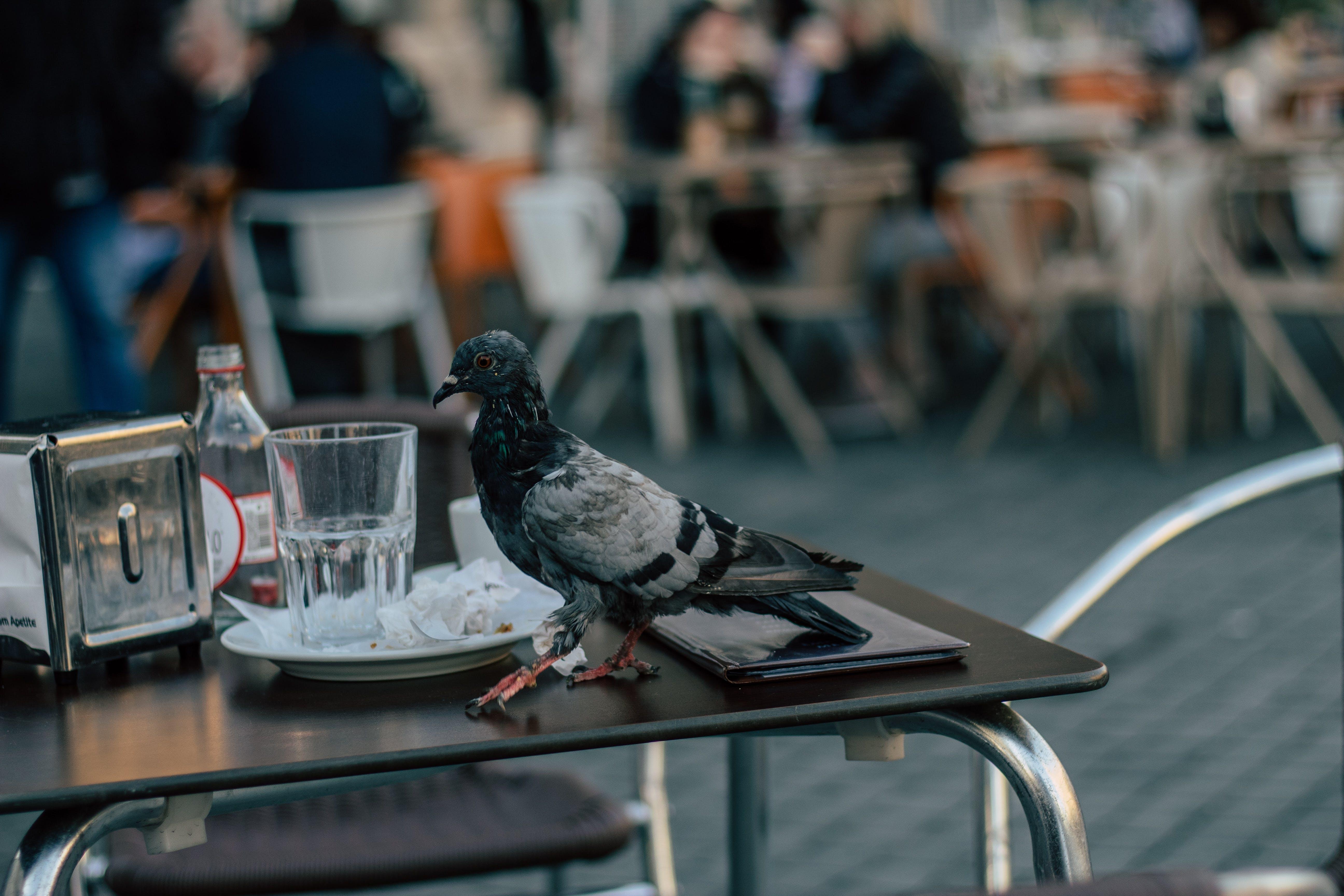 Foto d'estoc gratuïta de animal, au, aviari, colom