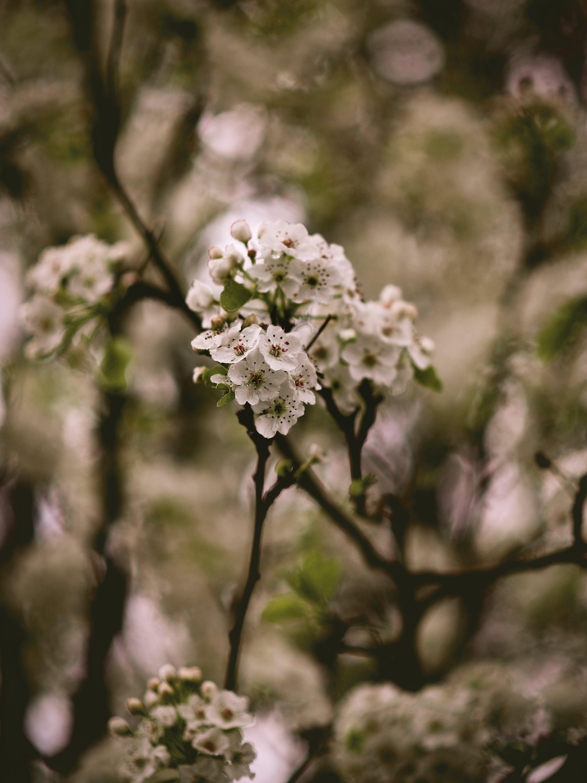 Kostenloses Stock Foto zu apfelblüte, ast, baum, blumen