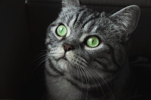 Close-up Photo of Gray Cat With Green Eyes