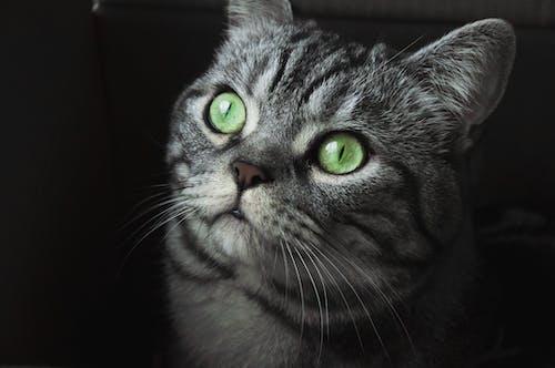 かわいらしい, ネコ, ペット, 動物の無料の写真素材