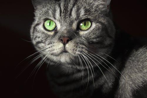 Free stock photo of animal, bengal, british shorthair, cat