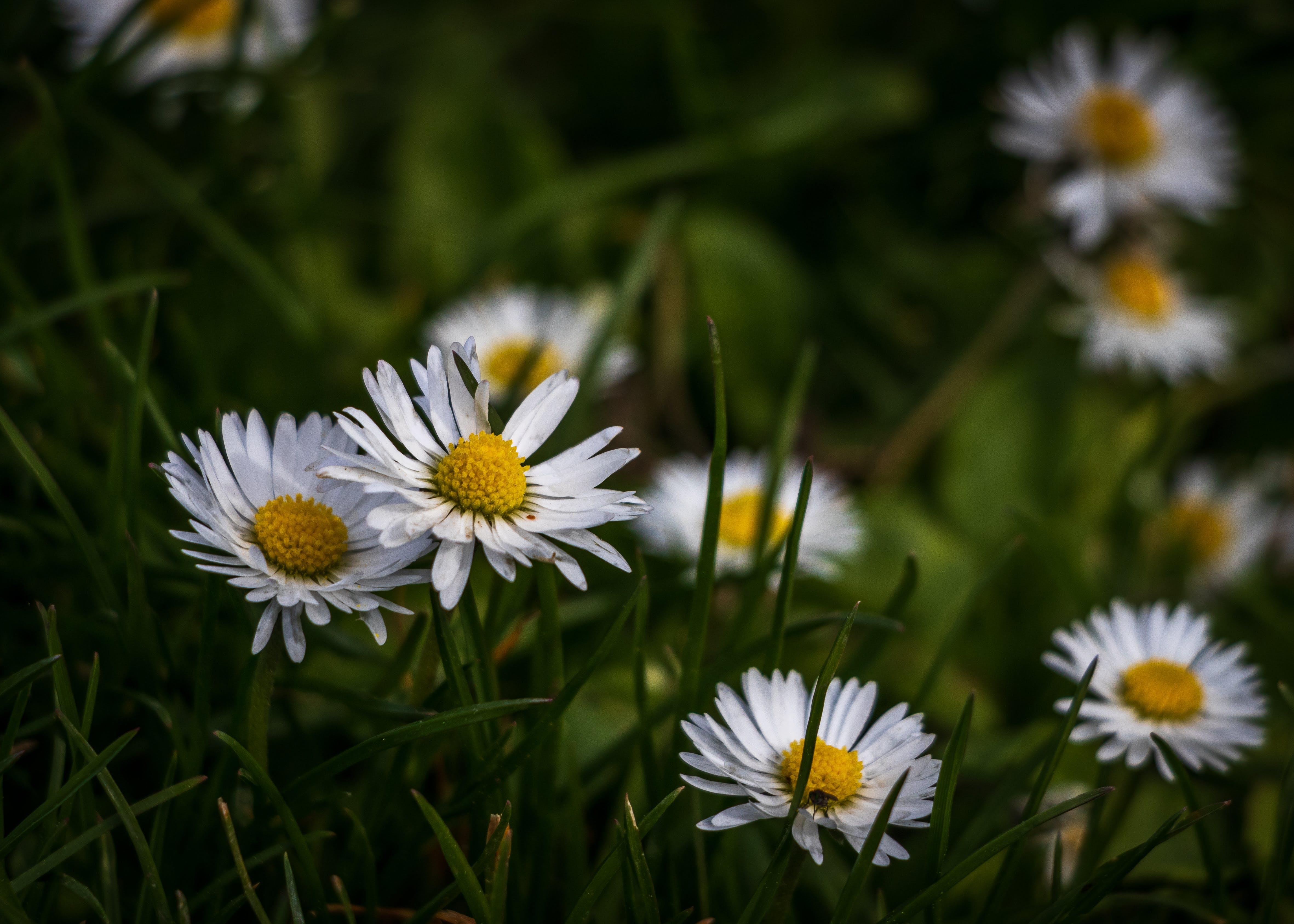 Photos gratuites de fleurs, fleurs de printemps, herbe, marguerite blanche